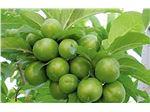 نهال میوه گوجه سبز یا آلوچه