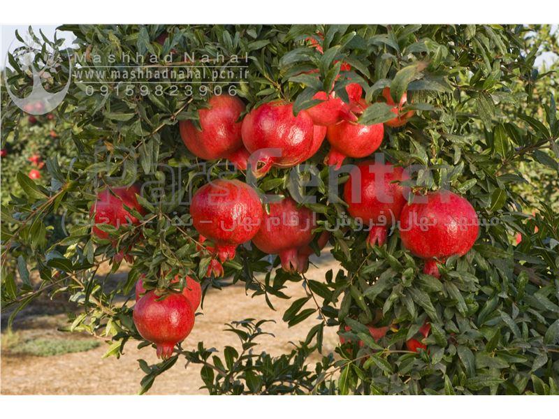 انواع نهال انار-Punica granatum