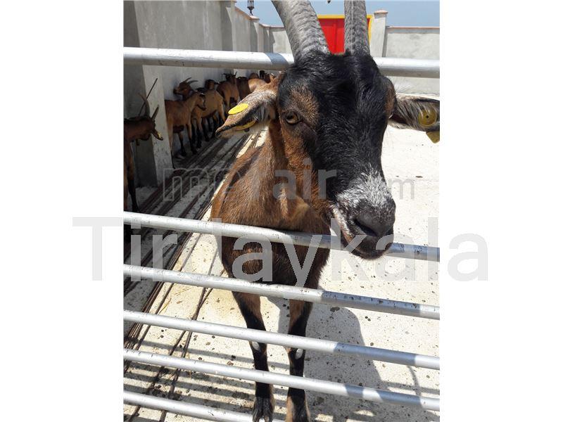 RFID Goat ear tag Round model