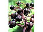 آقطی سیاه#انگور کولی#Elderberry#گیاه انگور کولی#