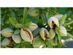 نهال بادام فرانیس-درخت بادام-دیرگل مقاوم به سرما