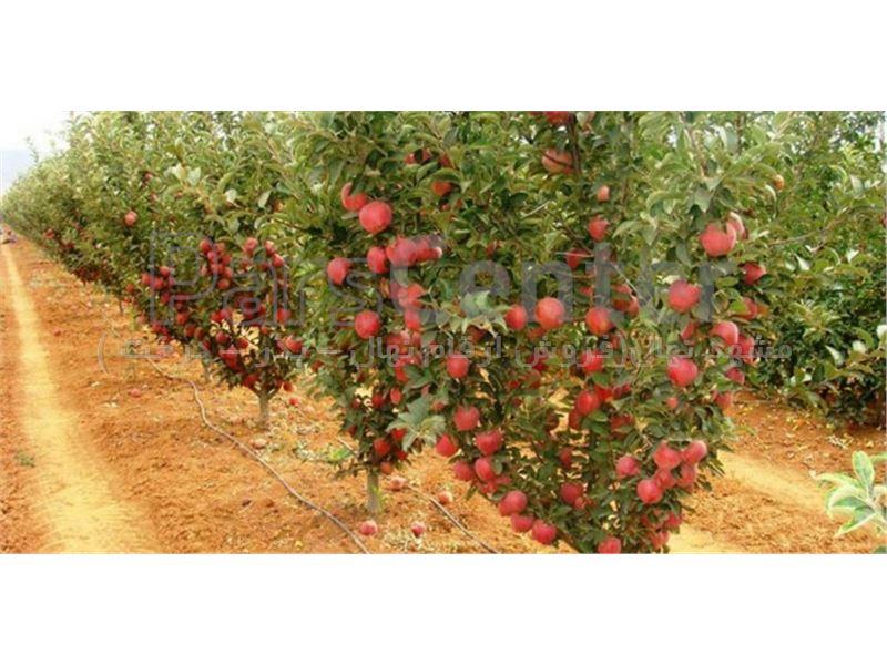 نهال پایه رویشی سیب - نهال پایه مالینگ