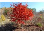 درخت افرای ژاپنی (برگ پنجه ای)،Japanese Maple