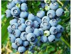 Blueberries زغال اخته آبی