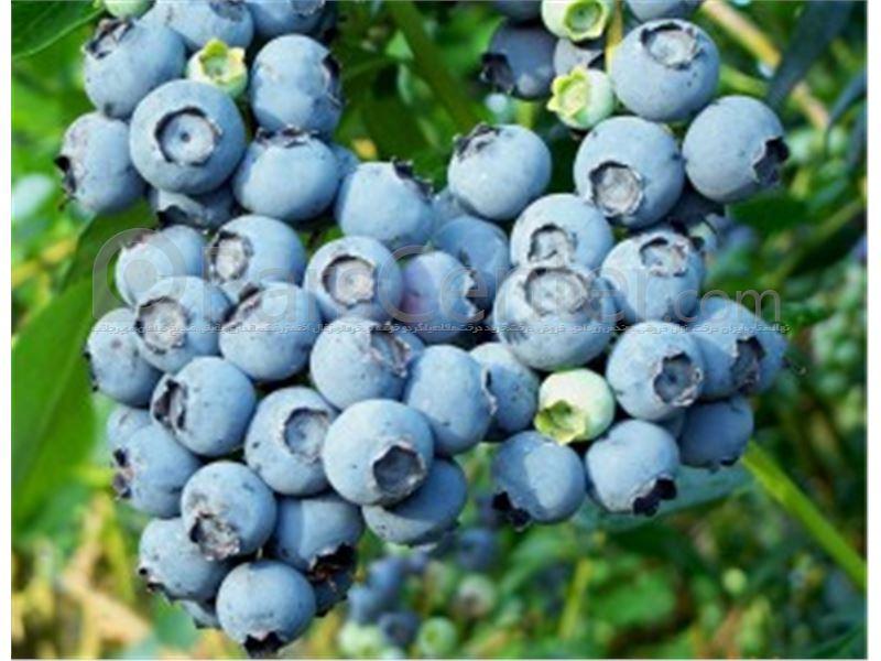 Blueberries زغال اخته آبی