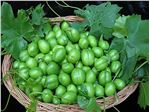 نهال میوه گوجه سبز بادامی سردرود