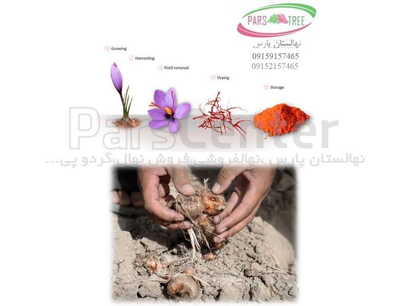 با فرارسیدن فصل کاشت پیاز زعفران شما میتوانید با جهت تهیه پیاززعفران با ما در تماس باشید