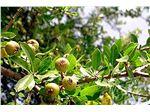 نهال میوه گلابی جنگلی