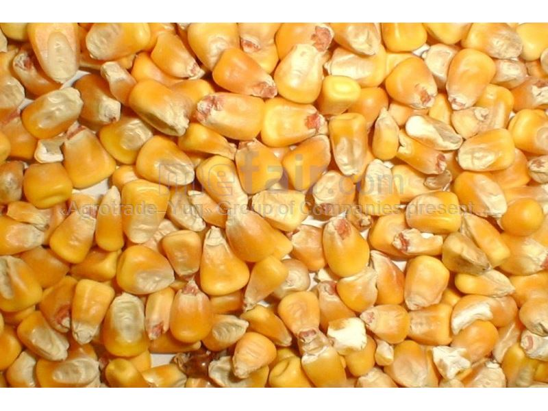 Yellow corn for Animal feed from Russia - Corn Products on