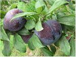 آلو بلک دیاموندٰ-tree Plum black diyamond