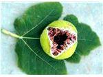 نهال میوه انجیر یزدی