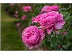 نهال گل محمدی (ریشه لخت و اماده کاشت)