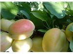 نهال میوه زرد آلوی شاهرودی