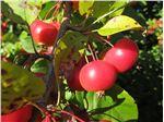 نهال میوه سیب مربایی