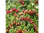 جوزبری/کیوی عروسکیgoose berry