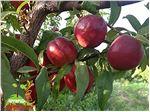 نهال میوه شلیل شبرنگ