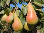 نهال گلابی فیتل فرانس_Fetel pear