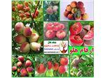 انواع نهال هلو-Prunus Persica
