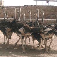 Ostrich tag