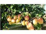 نهال میوه زرد آلوی شکرپاره یا درجهان