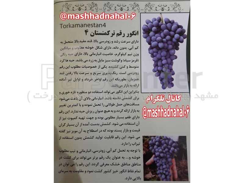نهال انگور ترکمن4-نهال گلدانی انگور ترکمن4-انگور مویز