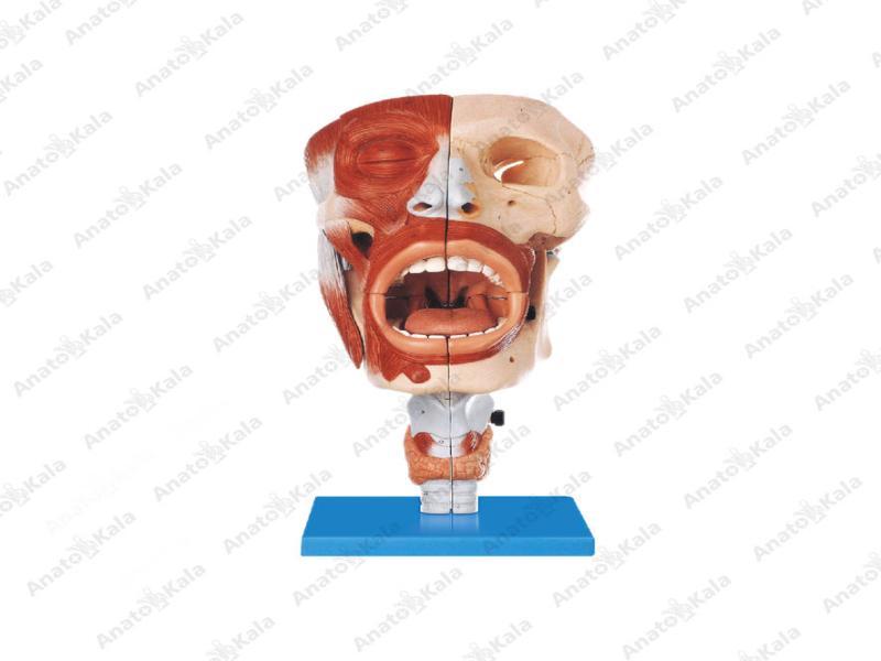 مولاژ سر و صورت با نمایش اجزای تنفسی