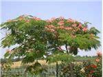 Albizia julibrissin tree