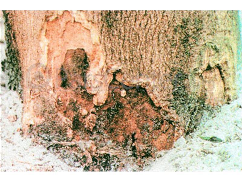 پوسیدگی طوقه  درختان