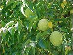 توت آمریکایی،Maclura pomifera