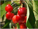 نهال میوه گیلاس قرمز ارومیه