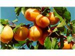 نهال میوه زرد آلوی محلی آذزبایجان