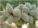 نهال میوه بادام شکوفه