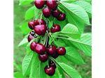 نهال میوه گیلاس فرنگی