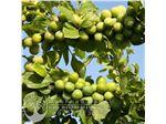 نهال گوجه سبز استار (پیش رس)