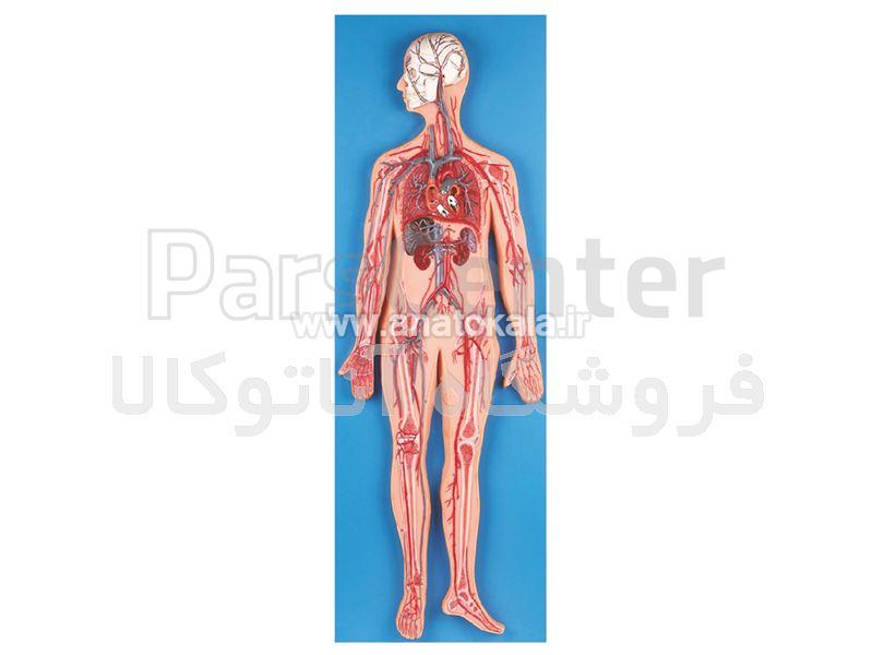 مولاژ دستگاه گردش خون انسان