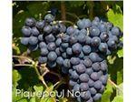 انگور فرانسوی#نهال انگور فرانسوی#درخت انگور فرانسوی