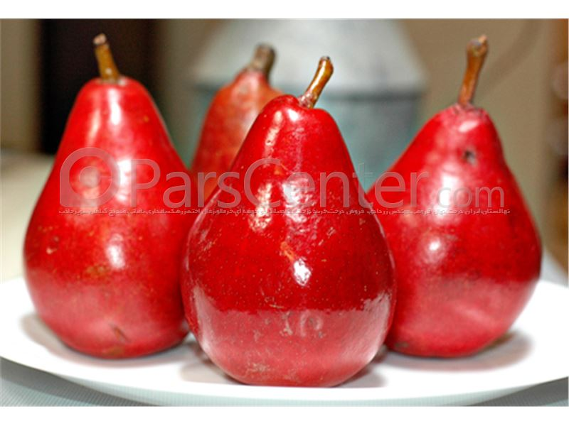 درخت گلابی_قرمز آنجو Red Anjou Pear
