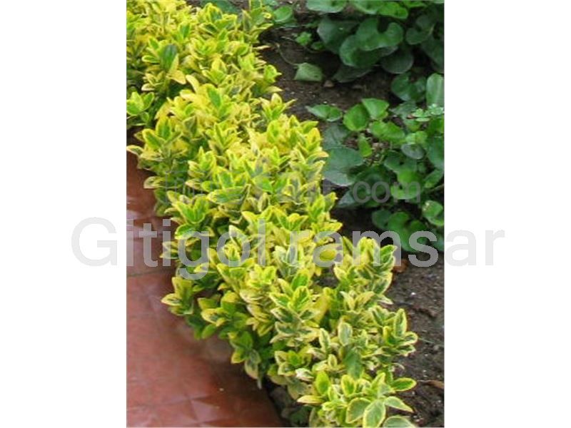 Euonymus fortunei 'Sunrise'
