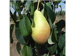 نهال میوه گلابی تاشکندی