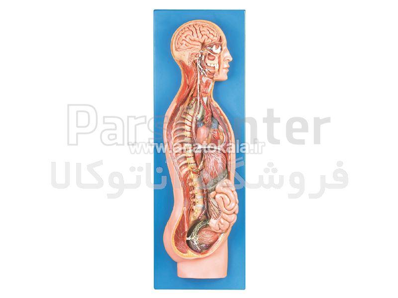مدل دستگاه عصبی سمپاتیک