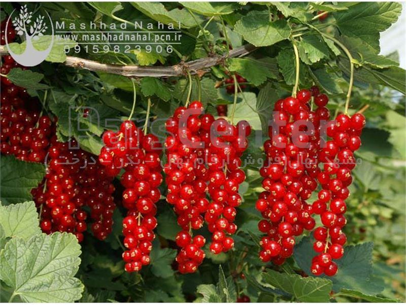 نهال انگور ردکارنت - انگور فرنگی Ribes