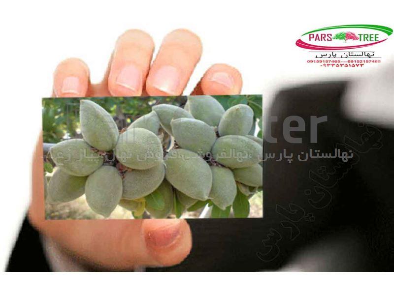 درخت_بادام منقا،بادام دیر گل کاغذی ،بادام اصلاح شده پیوندی