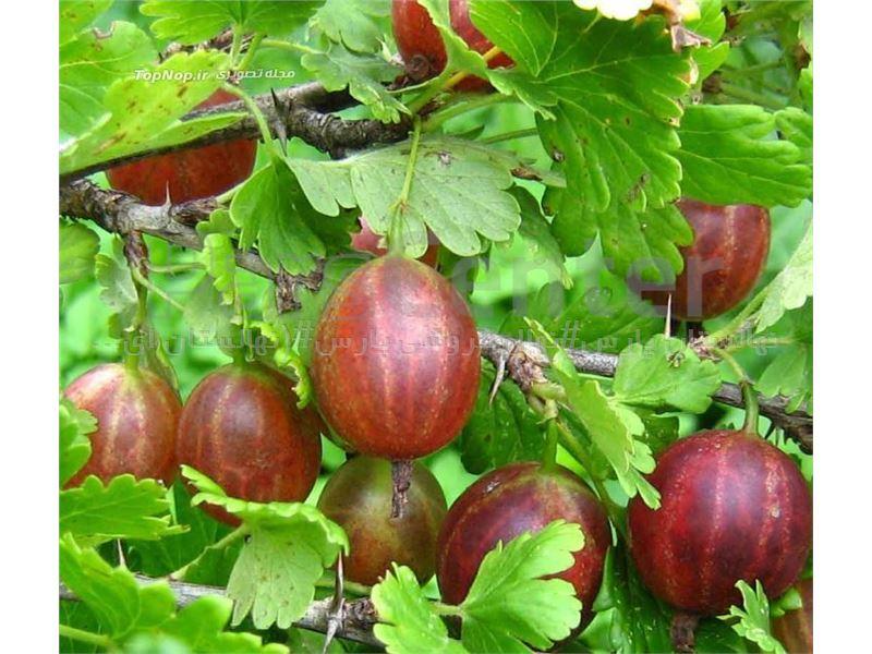 درخت انگورفرنگی-PHYSALIS MINIMA