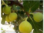 نهال میوه انجیر کوهی