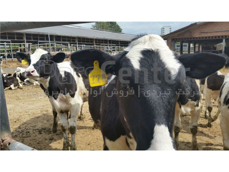 فروش تلیسه و گوساله ماده