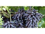 انگور شمشیری#Witch Fingers Grapes