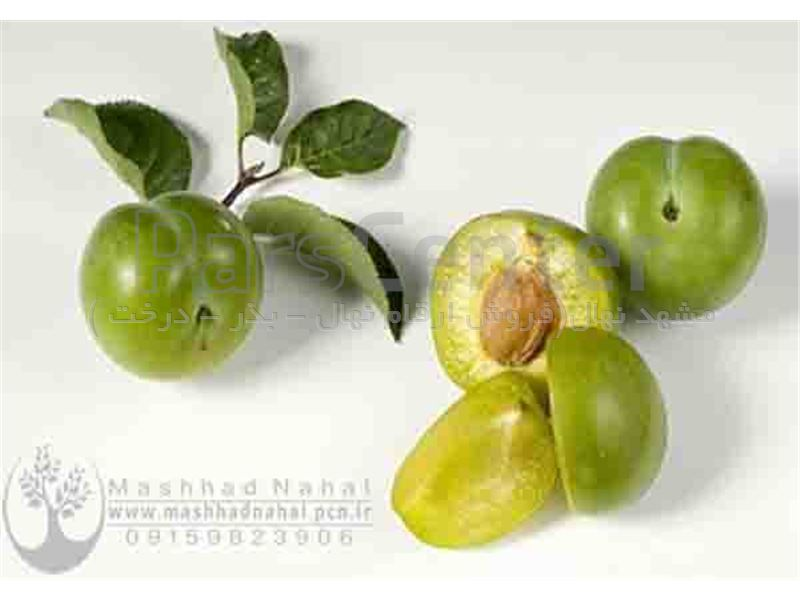 انواع نهال گوجه سبز-آلوچه