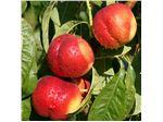 نهال میوه شلیل مغان
