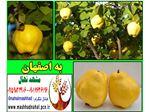 نهال به اصفهان-Cydonia oblonga