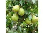 نهال میوه گلابی کومیس